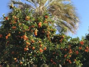orangers-en-fruits